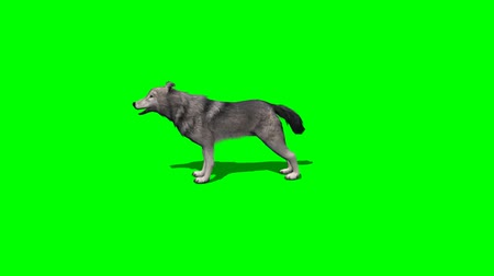 czechoslovak : wolf howl - 3 different views - with shadow - green screen Stock Footage
