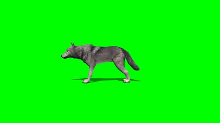 волк : wolf stands and looks around - four different views - with shadow - green screen Стоковые видеозаписи