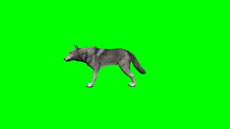 czechoslovak : wolf stands and looks around - four different views - without shadow - green screen