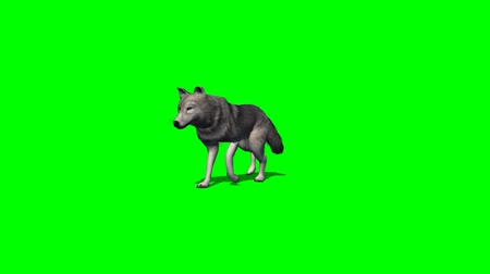 czechoslovak : wolf walks almost - with and without shadow - green screen