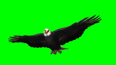 orel : eagle gliding in 1 - green screen Dostupné videozáznamy