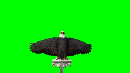 presa : eagle fly landing - 3 different views - green screen