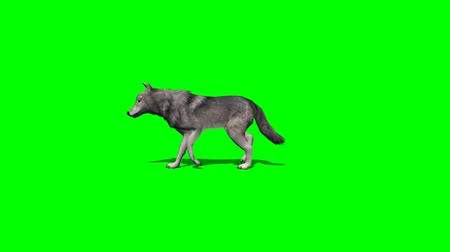 czechoslovak : wolf walks almost - with and without shadow Stock Footage