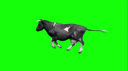 buzağı : cow runs 1 - green screen