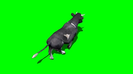 buzağı : cow runs 5 - green screen