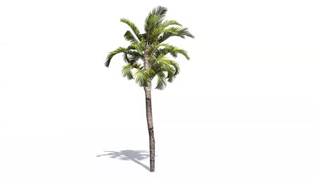 субтропический : palm in strong wind - isolated on white background Стоковые видеозаписи
