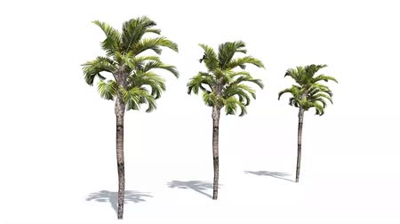 subtropical : palms in strong wind - isolated on white background