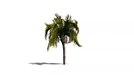 szubtropikus : queen palm in mean wind - isolated on white background