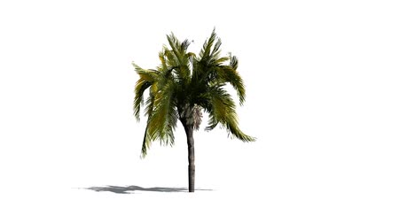 субтропический : queen palm in light wind - isolated on white background