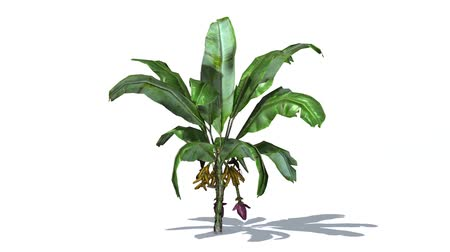frondoso : banana plant in wind with shadow - isolated on white background