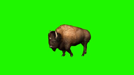 yellowstone : bison walks without shadow - green screen