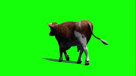 walk behind : cow goes fast - view from behind - green screen