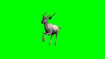 ungulado : Kudu antelope running  - green screen Vídeos