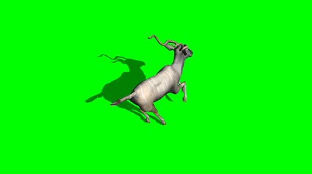 boynuzları : Kudu antelope running  - green screen Stok Video