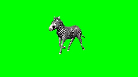 býložravý : zebra runs without shadow - 2 different views - green screen
