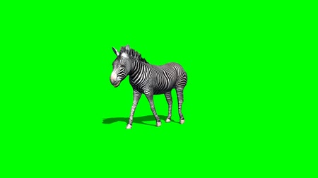 savana : zebra walks with shadow - 2 different views  - green screen