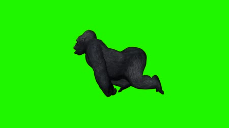 times : gorilla runs - green screen Stock Footage