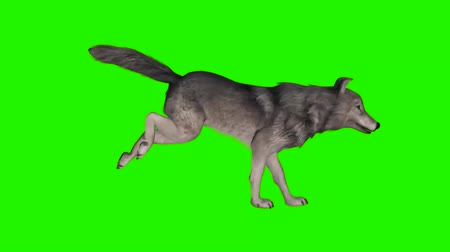 lobo : wolf runs  - green screen Stock Footage