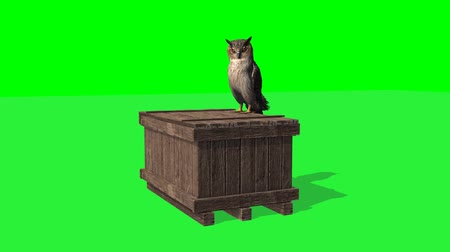 coruja : owl sitting on wooden box and looks around - 2 different views - green screen
