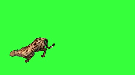 nearly : Cheetah jumps - attacks and eats - top view - isolated on green screen