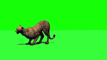 nearly : Cheetah jumps - attacks and eats  - green screen