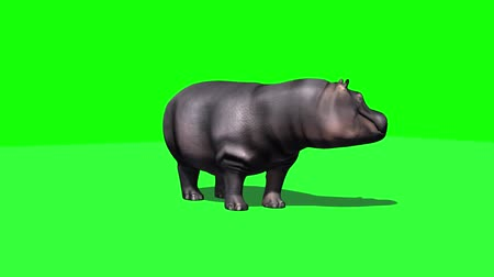 hippo : Hippopotamus stands and looks around - 3 different views with shadows - green screen