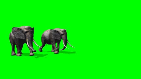 national park : elephant amble - green screen