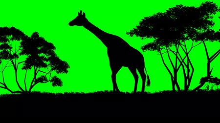 savana : giraffe sillouette - green screen