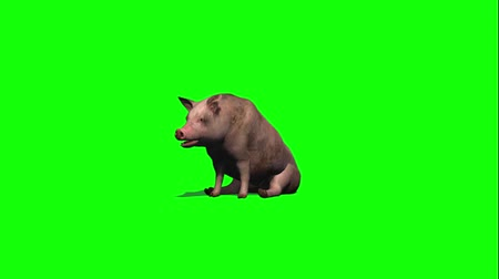 sow : pig stands, sits down, gets up - green screen