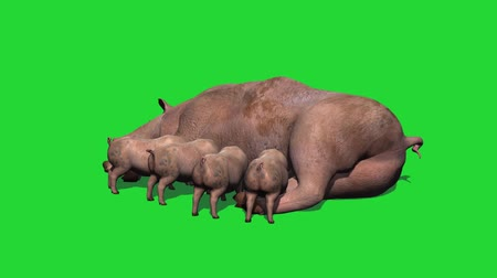sucking : pig with piglets for suckling - green screen Stock Footage