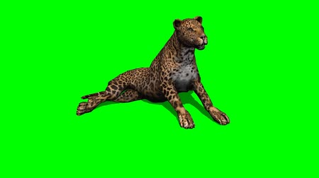 леопард : leopard sitting and looks around - green screen