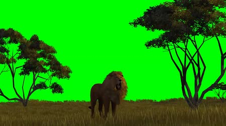 lion : lion on savanna background - green screen