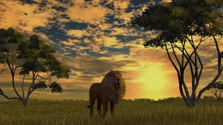 király : lion on sunset background