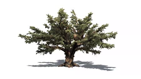 кедр : cedar of lebanon in the strong wind - white background