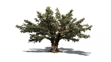 cedar of lebanon in the wind - white background