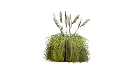 pampas gras in wind - white background Stock mozgókép