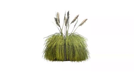 bitkiler : pampas grass in light wind - white background Stok Video