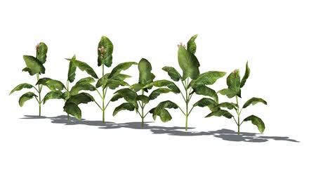 tobacco plants in the wind - white background