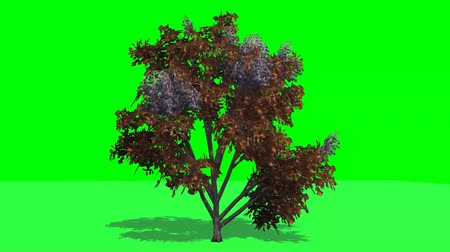 tree japanese angelica fall with shadow - green screen