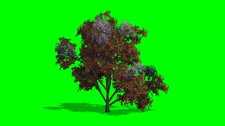 tree japanese stewertia fall with shadow - green screen