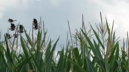 flock of geese : flock of birds flying past sparrows over cornfield Stock Footage