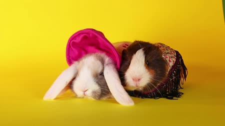Guinea pig with rabbit. Resting animals. Pets together.
