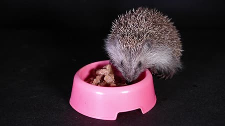 еж : Wild hungry hedgehog act as domestic pet