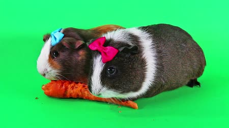 świnka morska : Guinea pig pigs eating carrot cute animal pet video