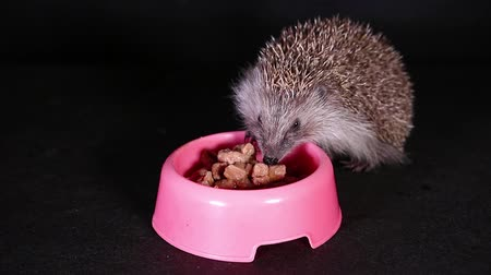 Wild hungry hedgehog eating domestic pet food. Wideo