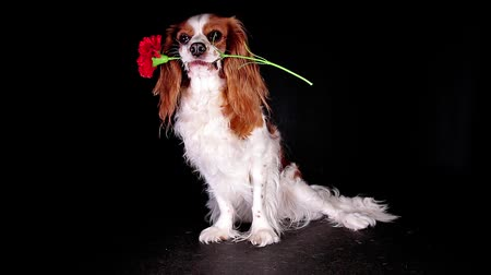 valentin nap : Valentines flower dog gift present give cute animal concept
