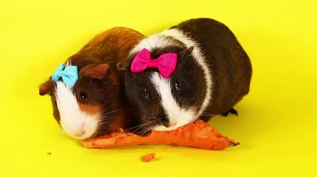Cavy guinea pigs cute animal pet video.