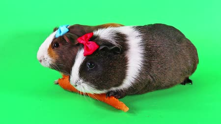 mini : Cavy cavys guinea pig pigs eating carrot funny clip