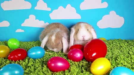 gif : Easter bunny cute rabbit with eggs on green studio background. Sallander silver lop.