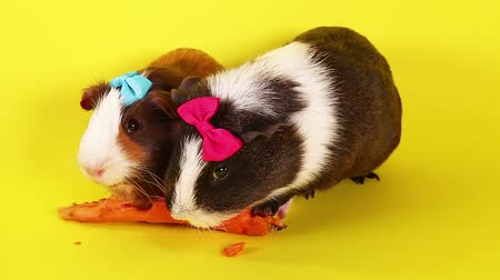 gif : Cavy cavys guinea pig pigs cute animals eating carrot Stock Footage